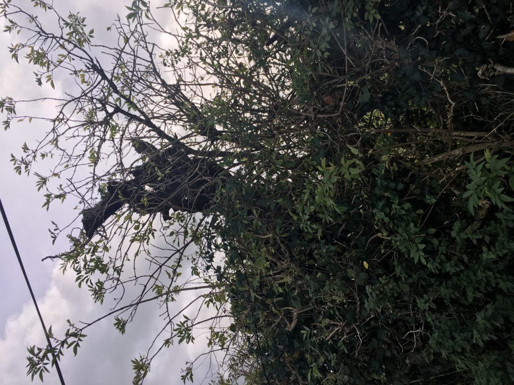 What remains of the whitethorn bush on the roadside in Skeheenarinky, which many understand to have given its name to the area as people would meet at this point for dances.| Photo (c) Tipp FM/MaryAnn Vaughan